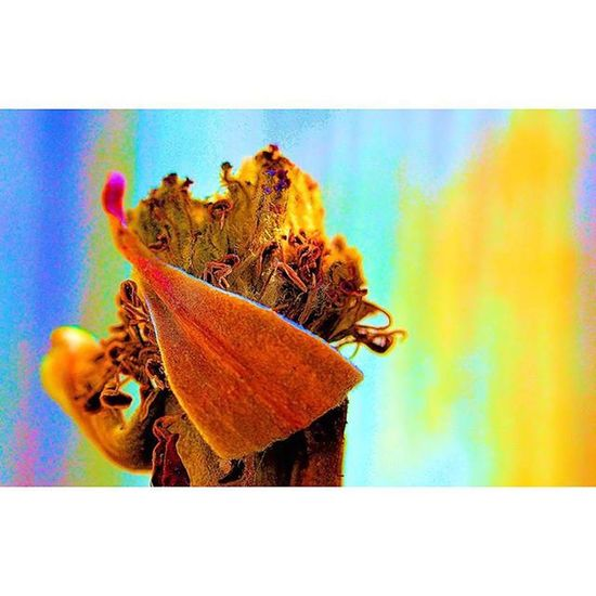 End of its lifecycle Stamens Rsa_macro_stamens Pocket_allnature Dof Depthoffield Fotofanatics_flowers_ Fotofanatics_nature_ Flowersandmacro Macrophotography Photography Tv_depthoffield Tv_dof Flowers Plants Waycoolshots Floral Macroworld_tr Botanical Nature Naturephotos Pocket_macro Pocket_dof Pocket_family Flowerporn Opentheme fstopmagazine