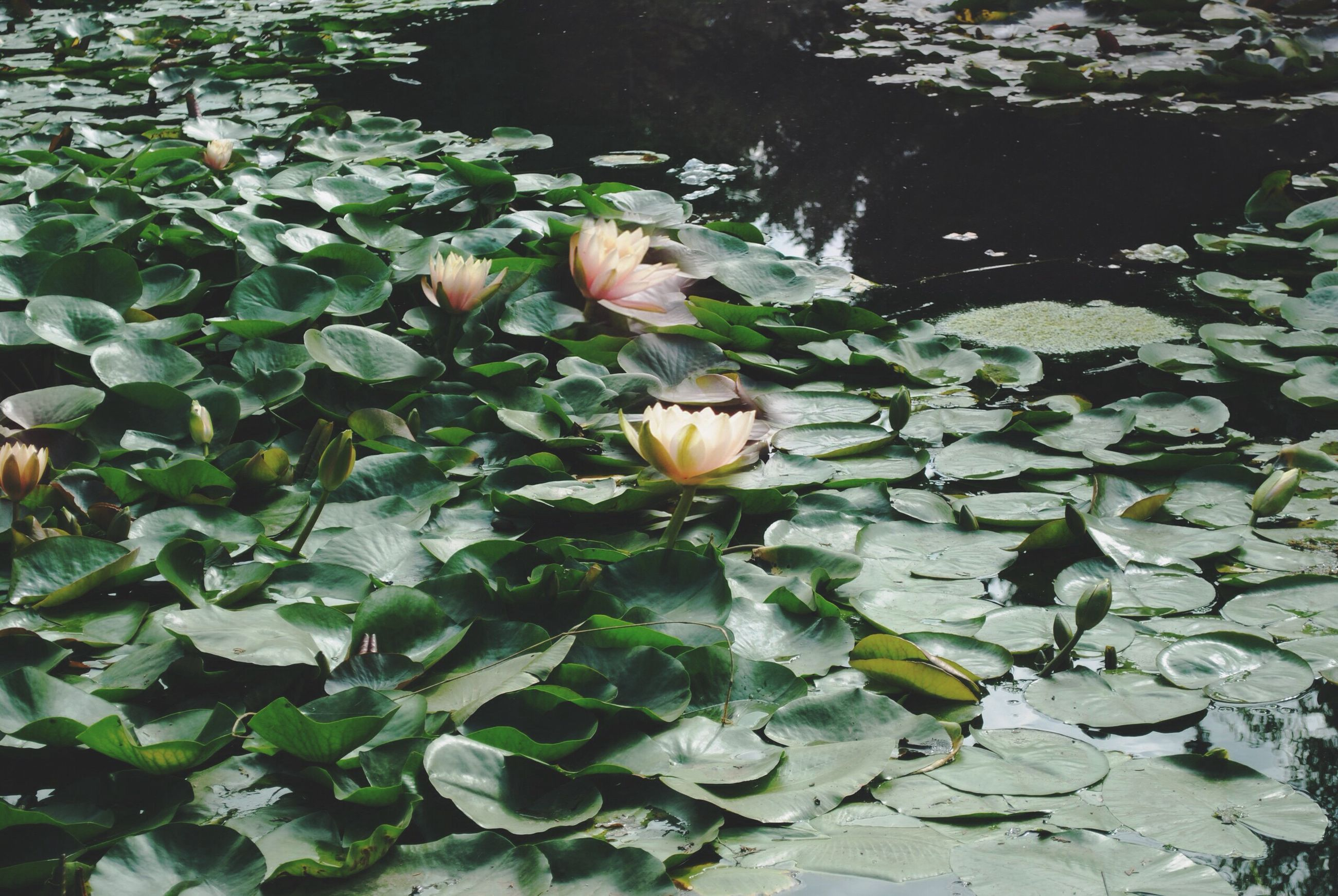 flower, beauty in nature, fragility, nature, leaf, freshness, growth, plant, petal, high angle view, flower head, lotus water lily, outdoors, floating on water, no people, green color, blooming, water, lily pad, day, close-up