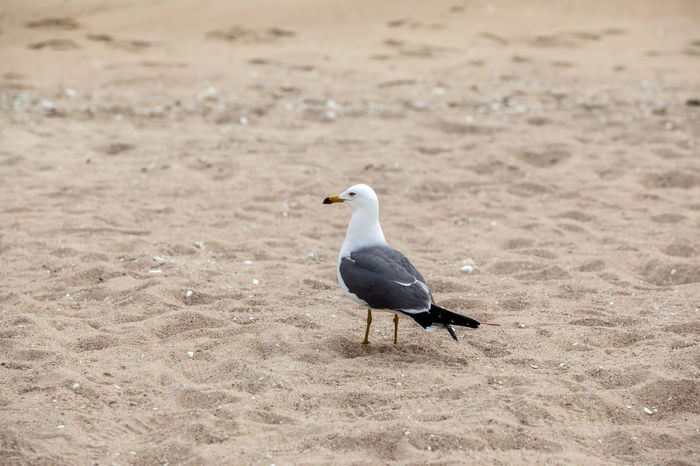 Beach Beauty In Nature Bird Close-up Coast Day Focus On Foreground Island Loneliness Lonely Nature No People Outdoors Sand Sea Gull Single The One Tranquility Wild Life