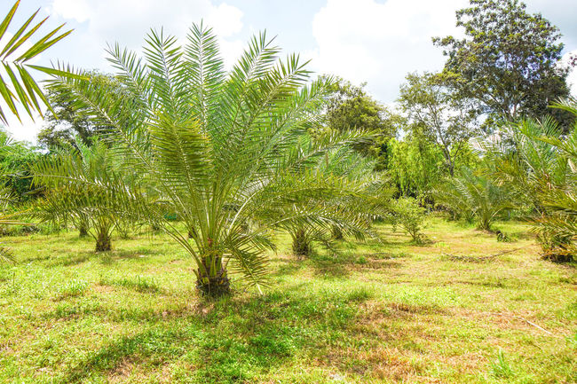 Barhi Dates Dates On Date Palm Barhi Date Palm Date Palm Garde Date Palm Tree Date Palms Environment Outdoors