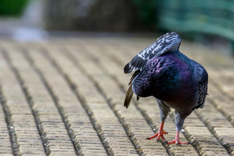 Close-up of pigeon