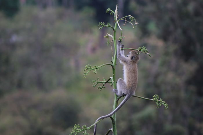 Africa Animal Themes Animals In The Wild Beauty In Nature Butiama, Tanzania Day Focus On Foreground Full Length Green Color Monkey Monkey Climbing Monkey In A Tree Nature No People One Animal Perching Tanzania Tranquility Velvet Monkey Vervet Monkey Wildlife Young Monkey Zoology