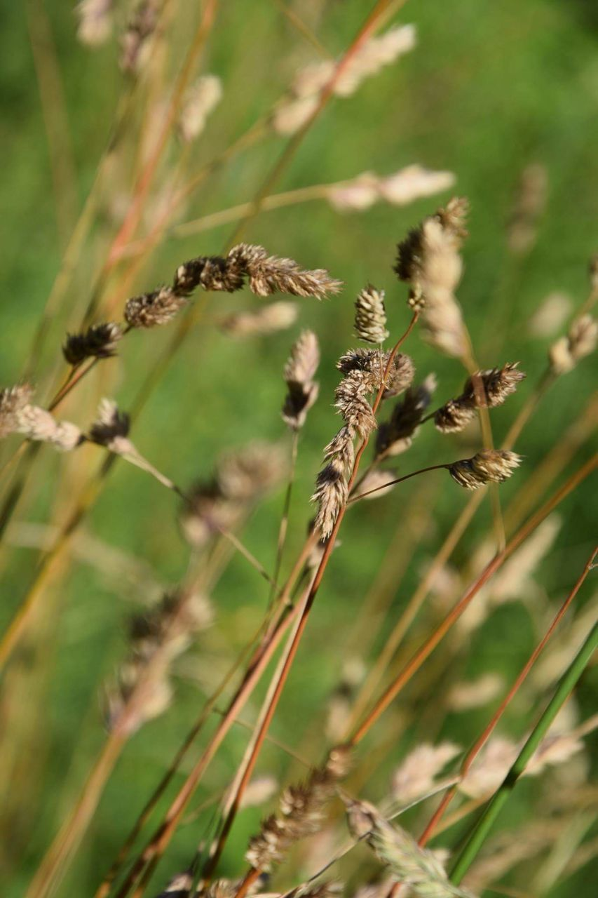 growth, nature, plant, no people, grass, day, outdoors, cereal plant, beauty in nature, close-up