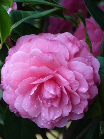 Camellia Camellia Camellia Japonica Beauty In Nature Camellia Flower Camellia Flowers Close-up Dew Drop Flower Flower Head Flowering Plant Fragility Freshness Growth Inflorescence Leaf Nature No People Outdoors Petal Pink Color Plant Plant Part RainDrop Springtime Vulnerability  Water Wet