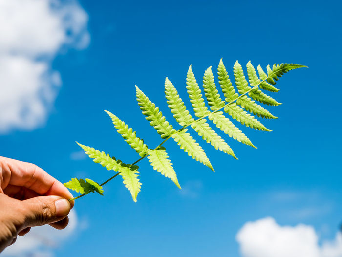 Cropped hand holding fern against blue sky