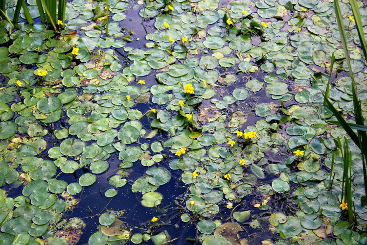 High angle view of water lily in lake