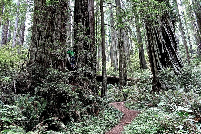 Forest Giant Redwoods Green Color Growing Nature No People Outdoors Park Prairie Creek Redwood Redwood Forest Redwood Park Redwood Trees Redwoods Tree
