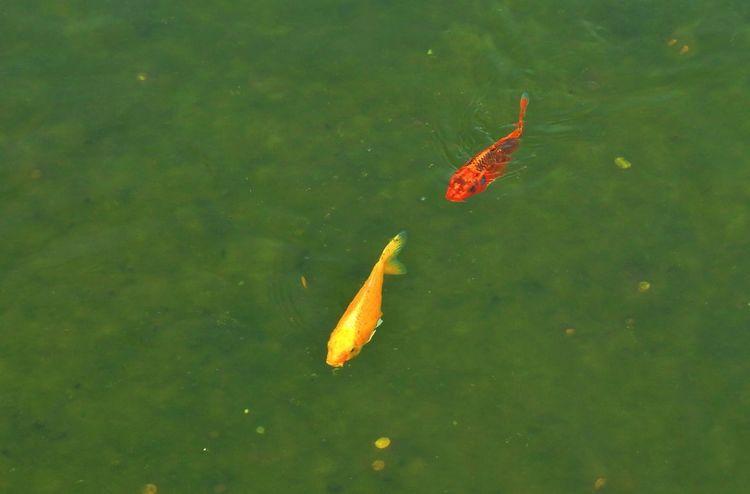.... The Week On EyeEm Animal Themes Beauty In Nature Day Fish Goldfish Minimundus Nature Swimming Water