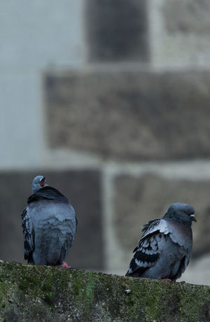 Close-up of a yawning Pigeon or Dove on a Stone Wall. Pigeon Doves Dove - Bird Birds Pigeons Yawning Grey Cloudy Moss Stone Wall Stone Stone Material Perching Animals In The Wild Bird Vertebrate Animal Animal Themes No People Day Focus On Foreground Two Animals Group Of Animals Togetherness Wall - Building Feature Outdoors Close-up Nature Wall Animal Wildlife