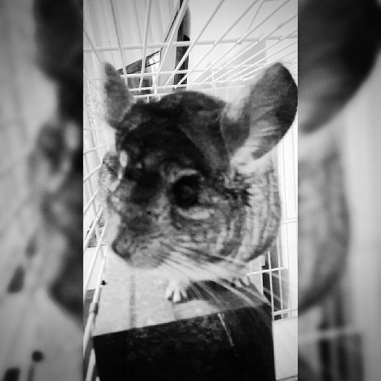 Chinchillas Chinchilla Chinlovers Animals Animals Love