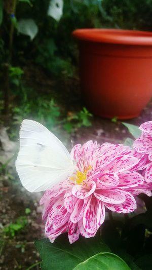 Dark Pink By Motorola Flowers Spring Beautifulgarden Nature Butterfly