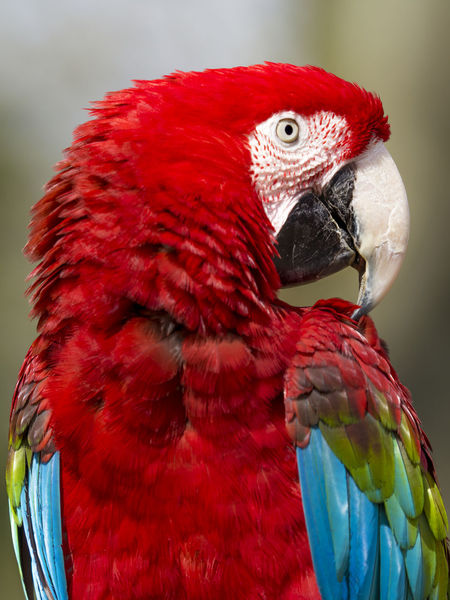 close up of a scarlet macaw (ara macao) Scarlet Animal Themes Animal Wildlife Animals In The Wild Ara Ara Macao Beak Beauty In Nature Bird Close-up Day Focus On Foreground Macaw Multi Colored Nature No People One Animal Outdoors Parrot Perching Red Scarlet Macaw Wildlife