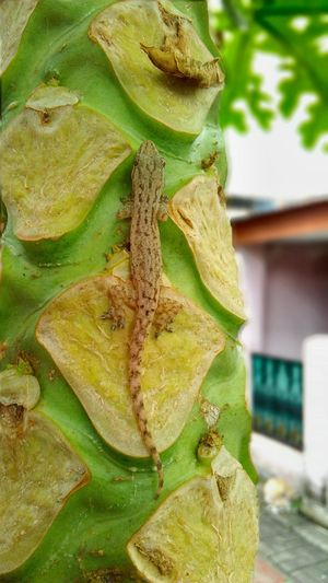 Lizard Reptile Animals In The Wild One Animal Outdoors Papaya Tree Lizard On Tree Lizardlife