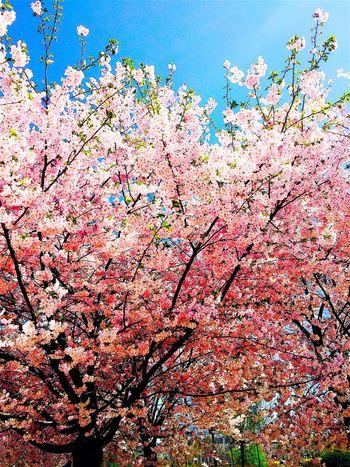 CHECHEN Republic Chechenrepublic Chechnya Грозный Grozny Sakura сакура