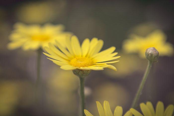 remember spring Beautifulyellowflower Lensbaby Photographie  Lensbaby Velvet56 Macro Macroshot