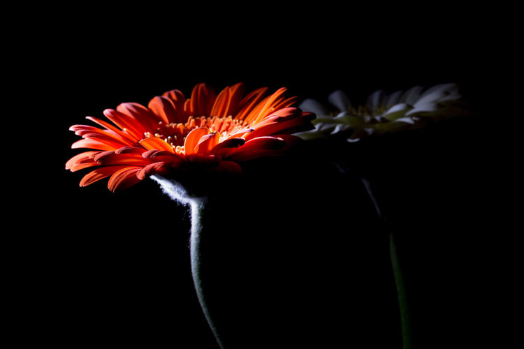 Beauty In Nature Black Background Close-up Day Flower Flower Head Flowers Fragility Free Space For Text Freshness Gerbera Gerbera Daisy Nature No People Outdoors Petal Red Flower Side Light Studio Shot White Flower