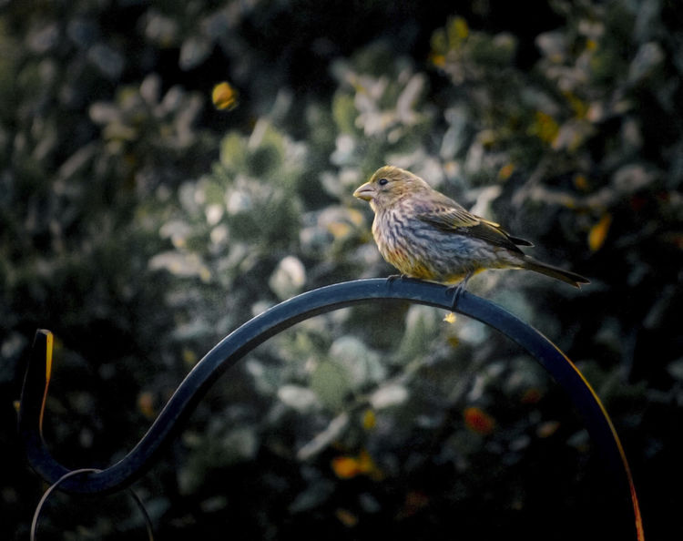 Backyard Photography Beautiful Light And Shadow Bird Finch No People Perching Songbird  Stillness