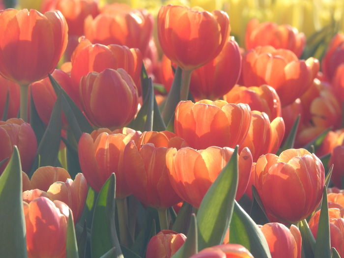 Flower Tulip Plant Flowering Plant Fragility Vulnerability  Beauty In Nature Freshness Petal Growth Close-up Flower Head Inflorescence No People Nature Day Red Abundance Orange Color Sunlight Outdoors Springtime Flowerbed Spring