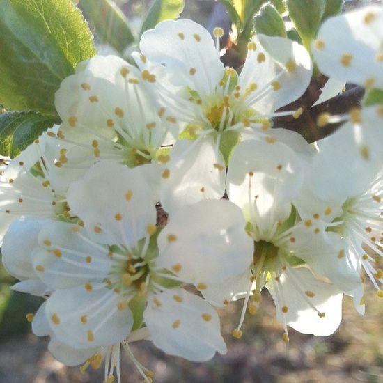 MAI Blomster Plomme Tre tittelsnes sveio sol grønn bark norge norway