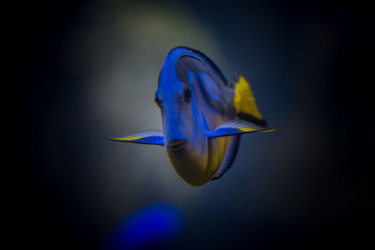 Close-Up Of Palette Surgeonfish Swimming In Tank