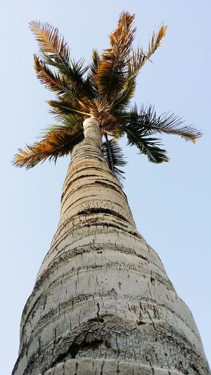 Palm Trees Bright Colors Taken By Me Palm Tree Palmtree Palm From Below To The Sky To The Top Hanging Out Taken Photos Pivotal Idea Pivotal Ideas Pictures Tell A Story By _photoinn😉
