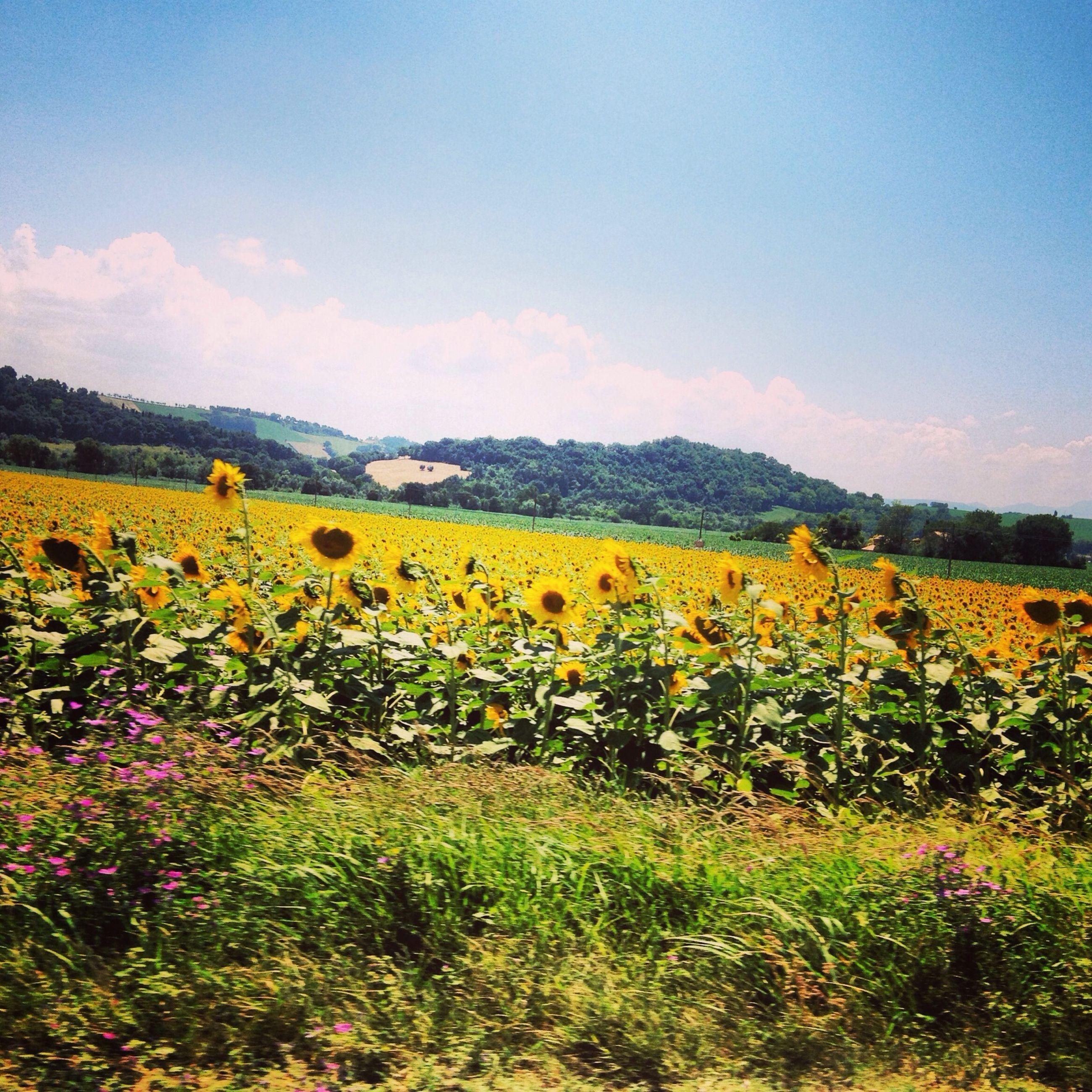 flower, yellow, field, rural scene, beauty in nature, agriculture, growth, landscape, sky, freshness, tranquil scene, nature, scenics, farm, tranquility, plant, oilseed rape, sunflower, crop, abundance