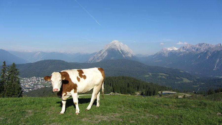Animal Themes Beauty In Nature Cattle Cow Day Domestic Animals Farm Animal Grass Grazing Hohe Munde Landscape Livestock Mammal Mountain Mountain Range Nature No People One Animal Outdoors Scenics Sky Wettersteingebirge