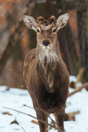 Sika deer Cervus Nippon Deer Winter Wildlife Animals In The Wild Sika Deer Mammal Nature Stag Antler Fauna Herbivore Herbivorous Portrait Cervus Hunting