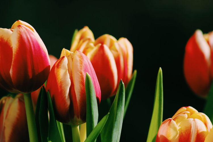 Close-Up Of Tulips Against Black Background