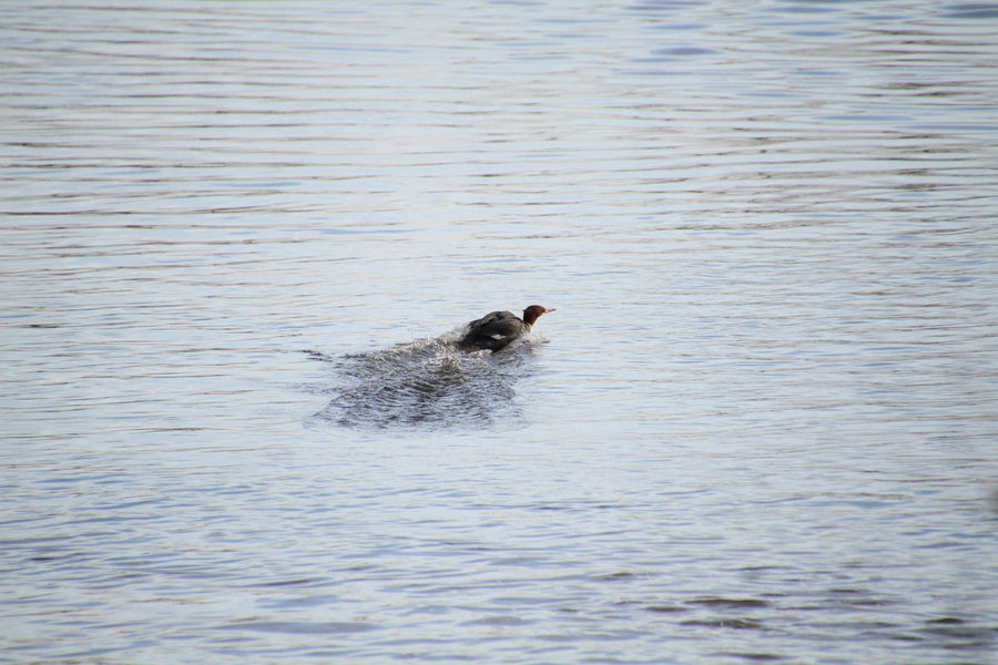A female hooded merganser coming in for a landing Animal Animal Themes Animal Wildlife Animals In The Wild Canine Day Dog Domestic Hooded Merganser Lake Mammal Motion Nature No People One Animal Outdoors Rippled Swimming Vertebrate Water Waterfront