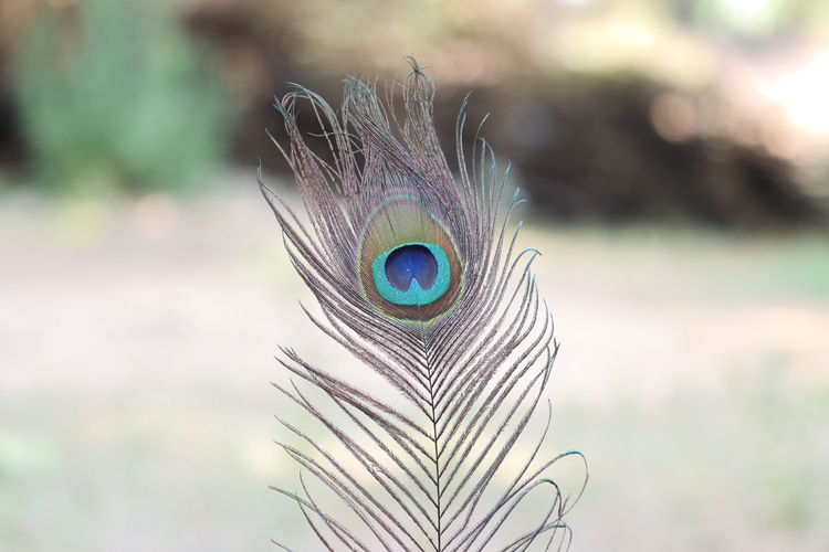 Close-up of peacock feathers, paecock tails