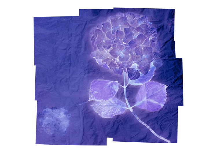 Hydrangea flower Hydrangea Flower Inverted Auto Post Production Filter Transfer Print No People Indoors  Studio Shot White Background Purple Blue Still Life Close-up Cut Out Copy Space Paper X-ray Image Nature Digital Composite Geometric Shape