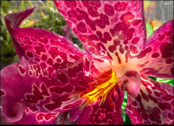 Orchid Close Up Macro Miltonia Orchid Natural Pattern Silva Orchids @ Union Sq. Mkt. - 11/21/15