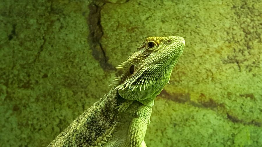 Close-up of a reptile against green wall
