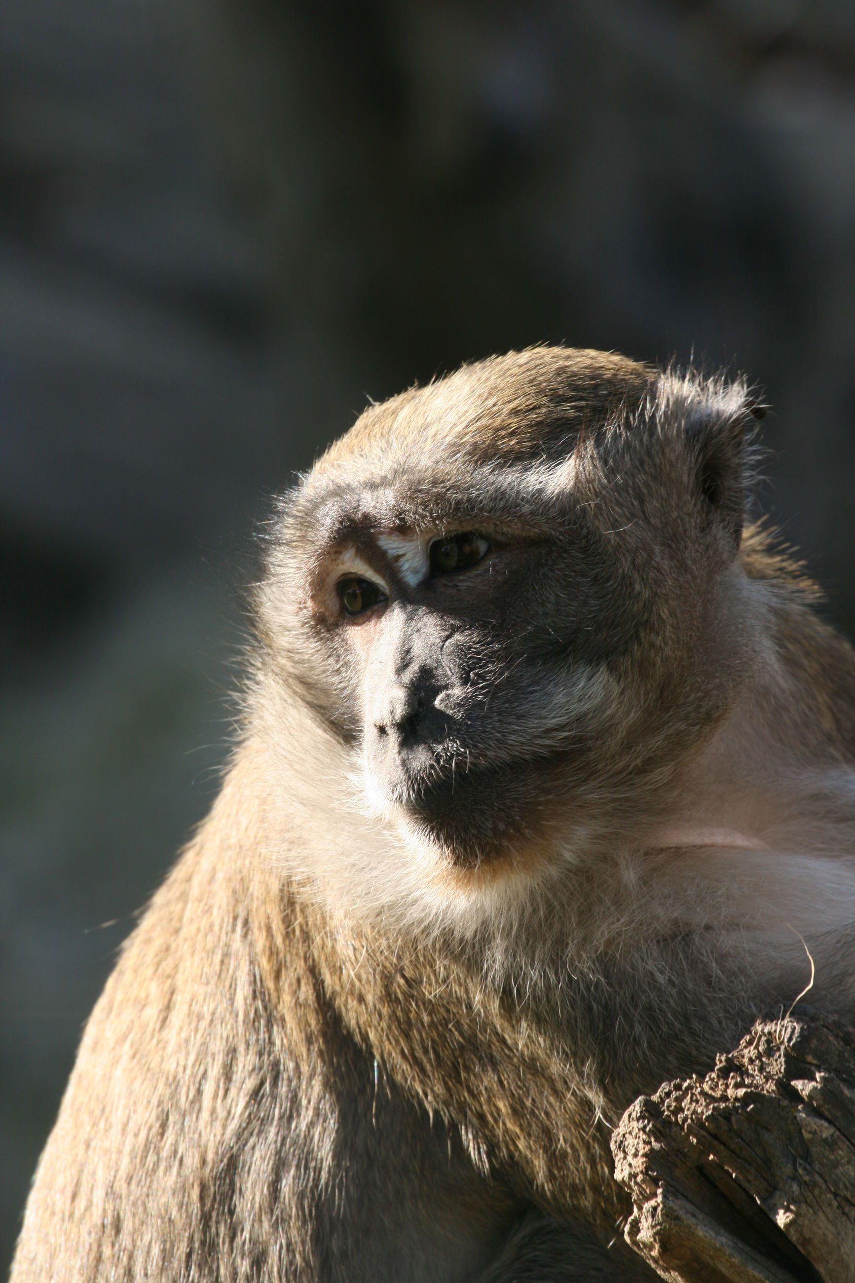 animal themes, animals in the wild, animal wildlife, mammal, no people, primate, nature, zoo, outdoors, one animal, day, close-up, baboon, monkey