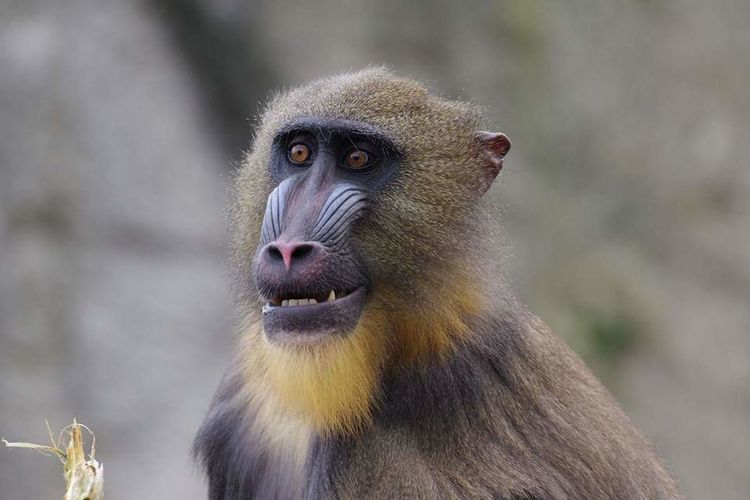 EyeEmNewHere Beauty In Nature Mandril Animal Head  Close-up Portrait