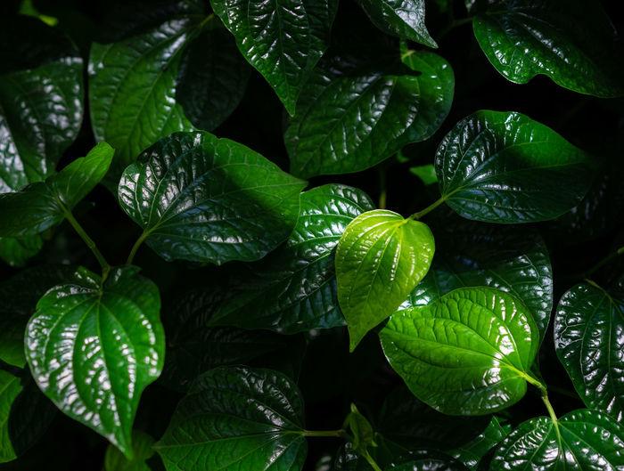 Chaplo Leafbush