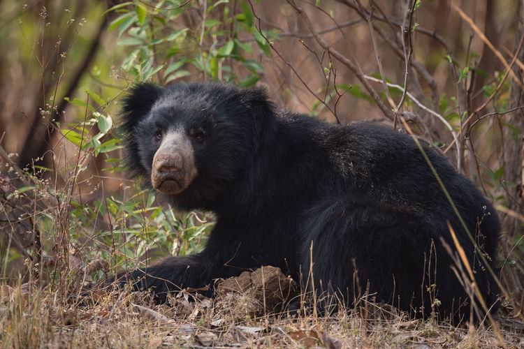 Close-up portrait of bear sitting in forest
