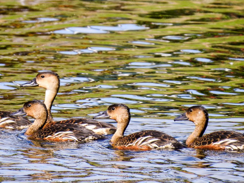 Group Of Ducks Group Ducks Duck Water Animals In The Wild Animal Themes Animal Wildlife Animal Vertebrate Swimming Bird Lake Nature No People Day Animal Body Part