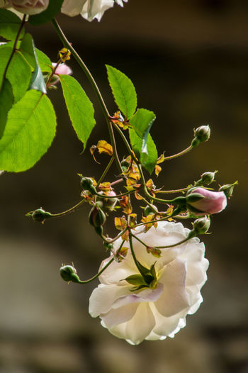 ardeche,france Apple Blossom Beauty In Nature Blossom Botany Branch Close-up Day Flower Flower Head Focus On Foreground Fragility Freshness Green Color Growth In Bloom Leaf Nature No People Outdoors Petal Plant Softness Springtime Twig