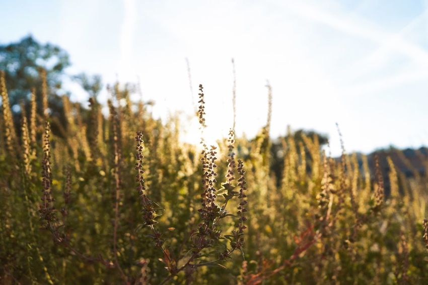 Sunset Golden Hour Wanderlust Plant Growth Beauty In Nature Sky Nature Tranquility Field Selective Focus Close-up Outdoors Scenics - Nature Sunlight Day Land Environment Tranquil Scene Landscape No People Focus On Foreground Freshness