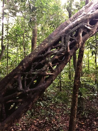 Twisted rainforest tree Tree Plant Growth Nature No People Day Forest Trunk Low Angle View Beauty In Nature