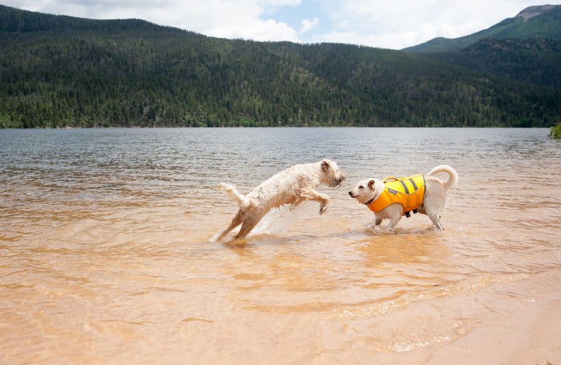 Beauty In Nature Dog In Life Jacket Lake Mountain Nature Pets Running Scenics Sky Tranquil Scene Water WheatonTerrier