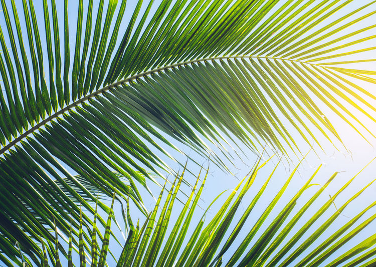 Palm Tree Palm Leaf Leaf Plant Part Green Color Growth Plant Tropical Climate Nature Beauty In Nature Tree Frond Backgrounds Sunlight No People Day Close-up Natural Pattern Full Frame Sky Outdoors Leaves Coconut Palm Tree