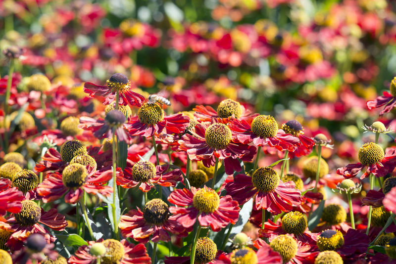 """Helenium """"Rubinzwerg"""", Sneezeweed Beauty In Nature Blooming Botany Close-up Flower Flower Collection Flower Head Flowers Fragility Freshness Growth Helenium In Bloom Nature No People Outdoors Petal Plant Selective Focus Sneezeweed"""