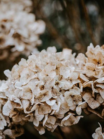 Macro photo of decaying hydrangea