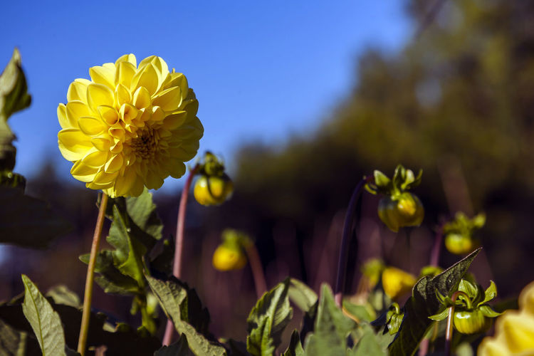 Flowering Plant Flower Freshness Plant Growth Vulnerability  Fragility Beauty In Nature Petal Close-up Yellow Flower Head Inflorescence Nature Focus On Foreground Selective Focus Day No People Leaf Plant Part Outdoors