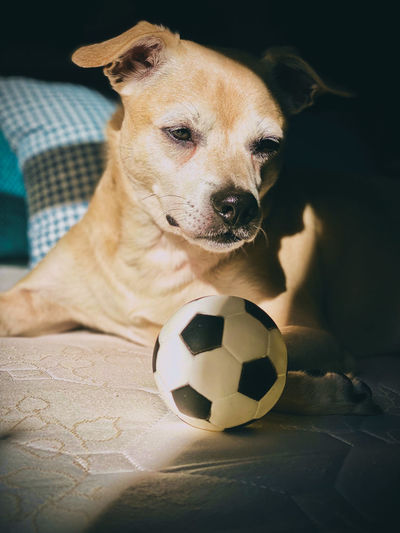Portrait of a dog playing with soccer ball
