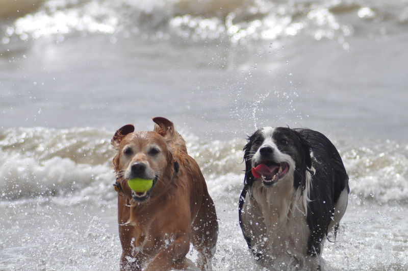Golden RetrieverAnd Border Collie Playing In Sea With Ball