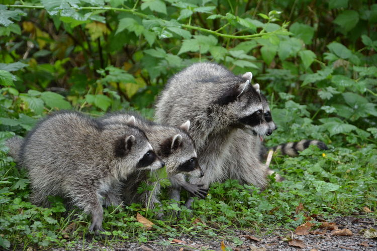 Animal Family Bc Canada Nature Racoon Stanley Park Vancouver Wild Animal